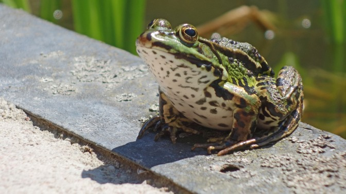 From the cookbook to the Red List: the unsustainable tradition of frog consumption