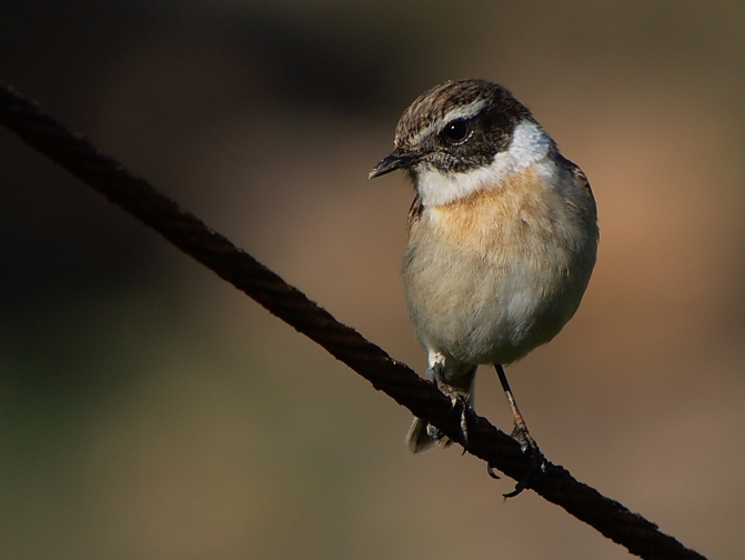 The Canary Islands stonechat: questions to be answered (but not by me)