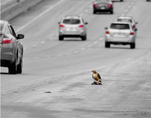 Roadkill_Aaron_Flickr's creative commons