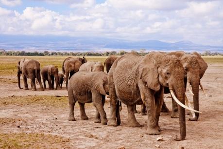 elephants-africa-amboseli-animal-50611