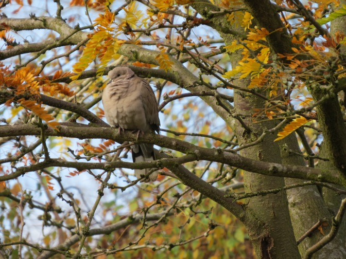 Whoa! Is there any stopping the Eurasian collared-dove?