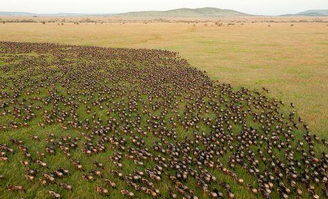 wildebeest_migration_in_serengeti_national_park_tanzania