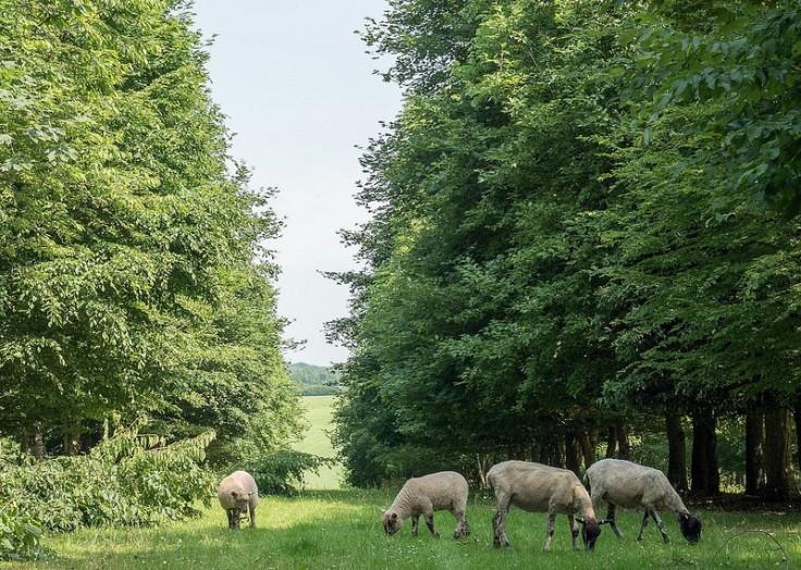 sheep agro