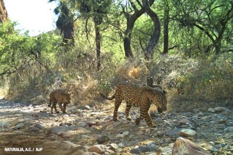 sonoran jaguars
