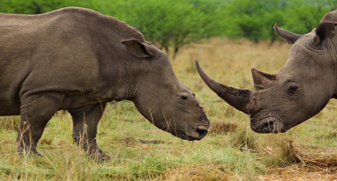 'Trade it to Save it': a Dubious Compromise in Rhino Conservation