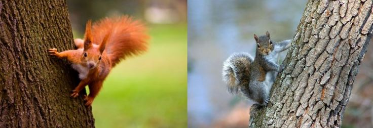 red and grey squirrel